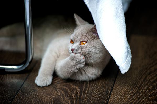 Dlaczego powinniśmy kupować koty z hodowli?