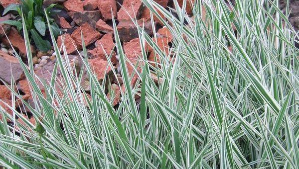 Jakie gatunki traw ozdobnych wybrać?
