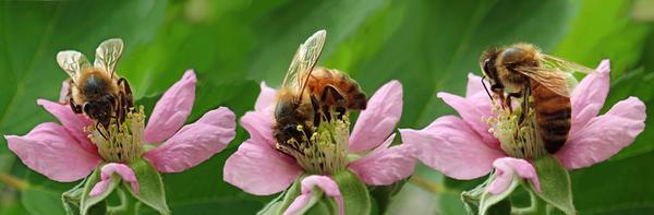 Zbieranie pyłków pszczelich